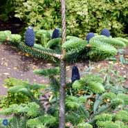 ABIES GEORGEI