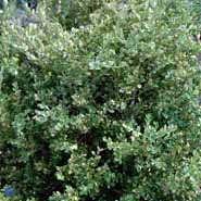 BUXUS MICROPHYLLA WINTER BEAUTY