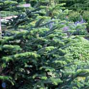 ABIES CEPHALONICA APOLLINIS