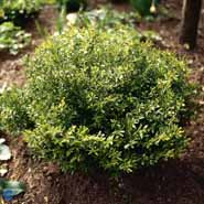 BUXUS MICROPH.VAR.JAPONICA MIMER