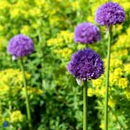 ALLIUM HIS EXCELLENCY