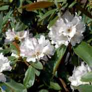 RHODODENDRON AGGLUFINABUM