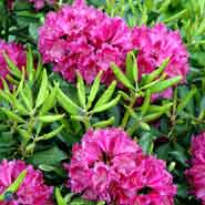 RHODODENDRON ABBA